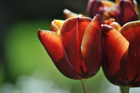 tulip-1363631_960_720